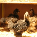 chickens silkies